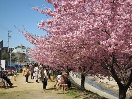 乙川・葵桜