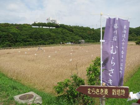 岡崎市・むらさき麦栽培地