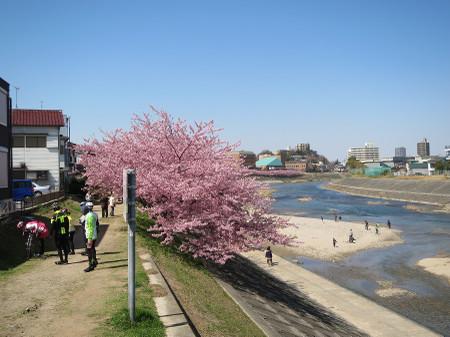 岡崎市 乙川の葵桜(河津桜)