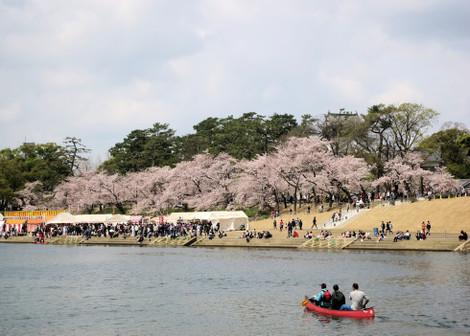 岡崎市の桜まつり